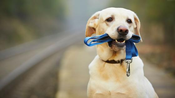 Cute Labrador Retriever wallpaper