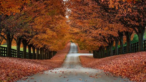 Autumn tree alley  wallpaper