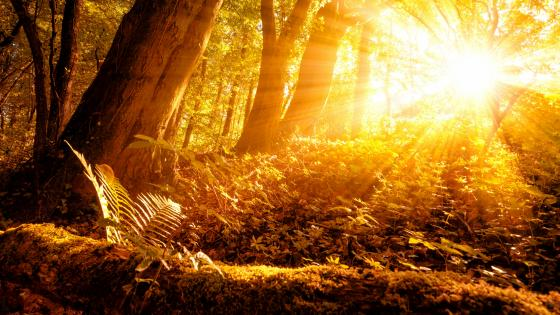 Sunbeams in the forest wallpaper