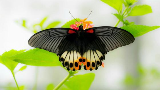 Beautiful dark butterfly - Macro photography wallpaper