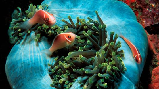 Clownfish & sea anemone wallpaper