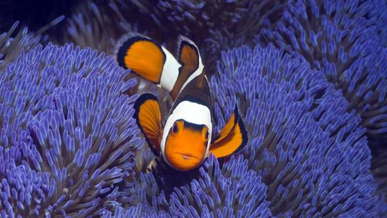 Clownfish - Underwater photography wallpaper