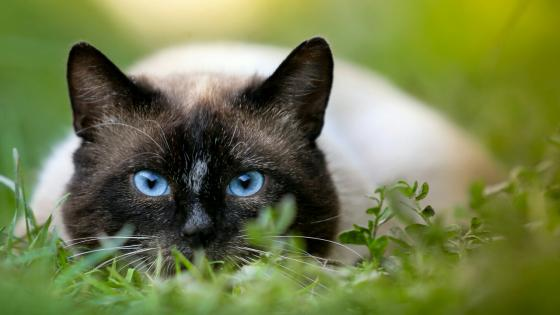 Cat with blue eyes wallpaper