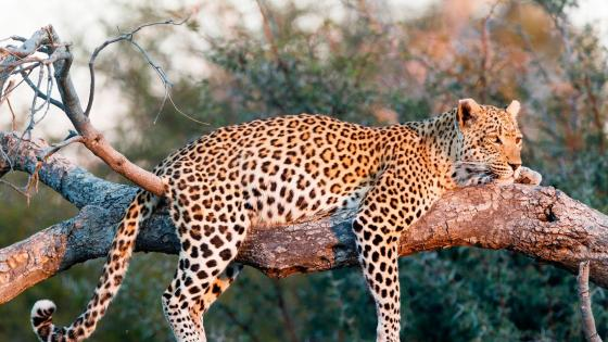 Leopard - Wildlife photography wallpaper