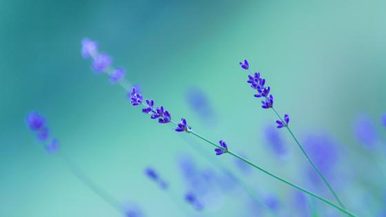 Close up Lavender wallpaper