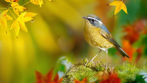 Autumn bird wallpaper