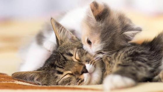 Kitten kiss wallpaper