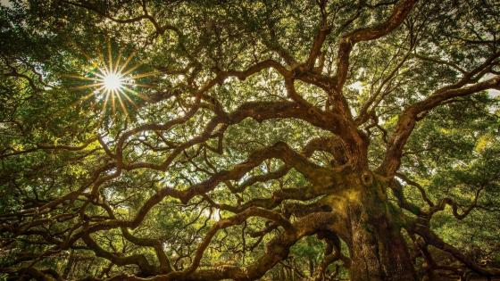 Angel Oak Tree wallpaper