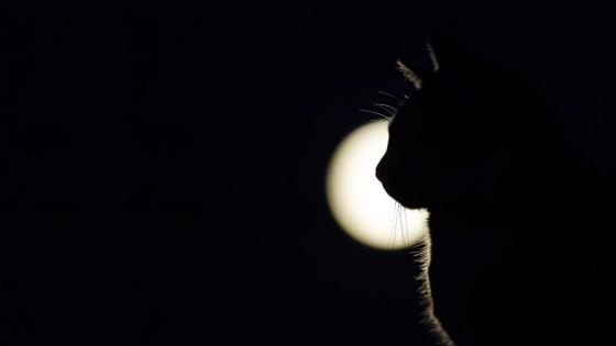 Cat in the full moon wallpaper
