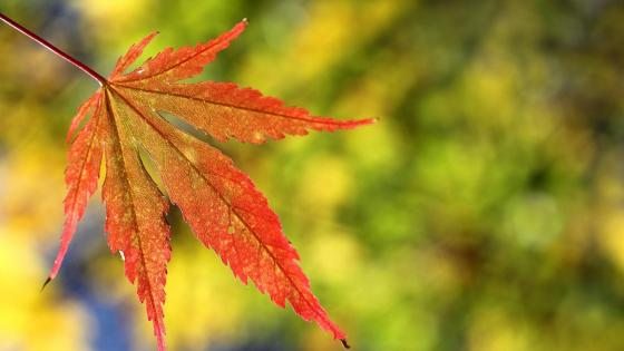 Autumn leaf  wallpaper