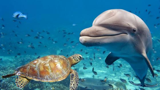 Dolphin with a sea turtle wallpaper