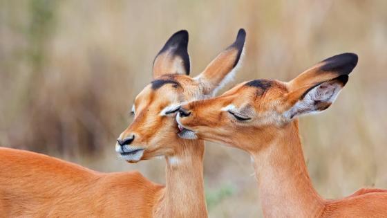 Impala kiss wallpaper