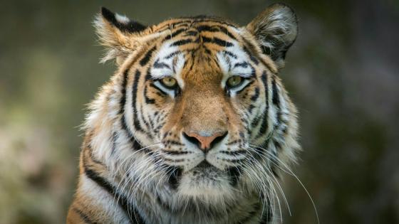 Tiger portrait - Wildlife photography wallpaper