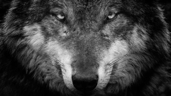 Wolf black and white portrait  wallpaper