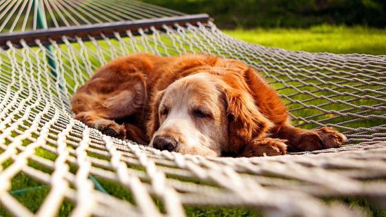 Dog sleeping on the hammock wallpaper
