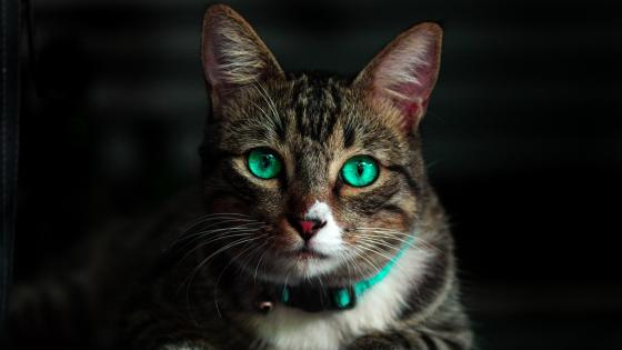 Beatiful photo of a cat with green eyes wallpaper