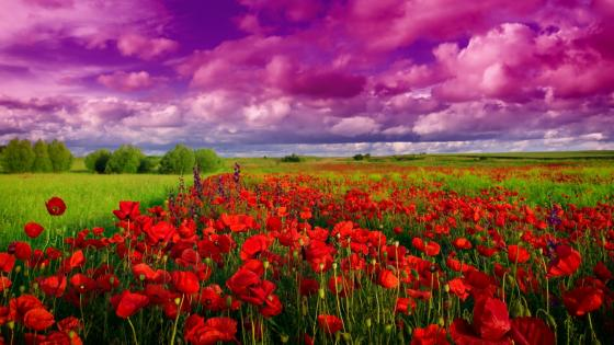 Poppy field wallpaper