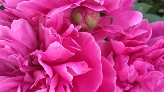 Centifolia roses wallpaper