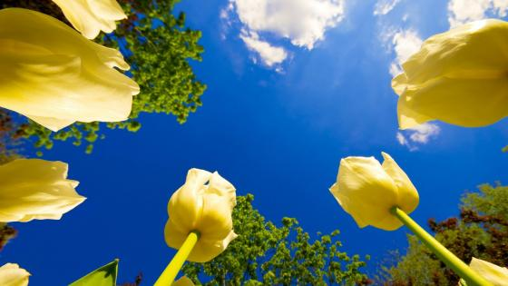 Yellow tulips wallpaper