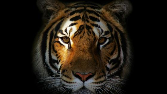 Tiger face wallpaper