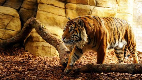 Angry Bengal Tiger wallpaper