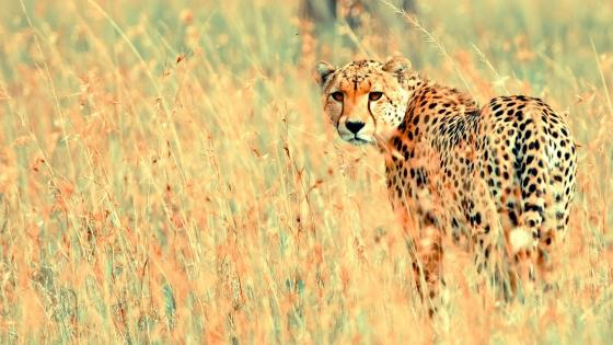 Cheetah in the grass wallpaper