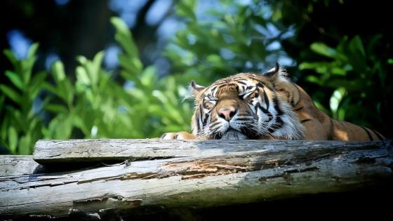 Sleeping tiger wallpaper