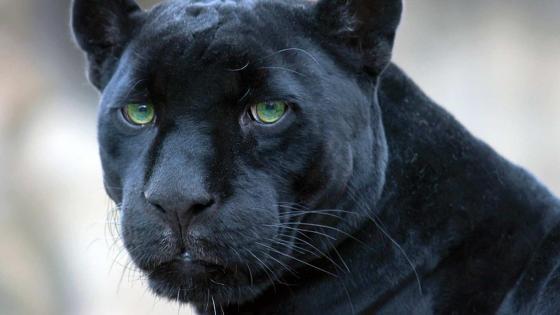 Black Panther portrait wallpaper