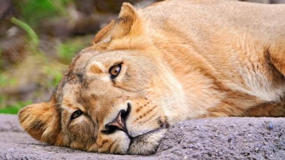 Resting sad lion wallpaper