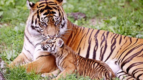 Tiger cub and his mom wallpaper