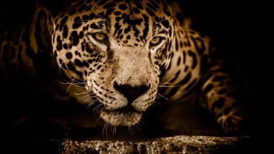 Wonderful jaguar wallpaper