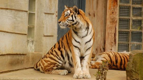 Sitting Tiger wallpaper