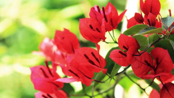 Red Bougainvillea wallpaper
