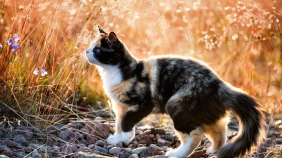 Calico cat in the field wallpaper