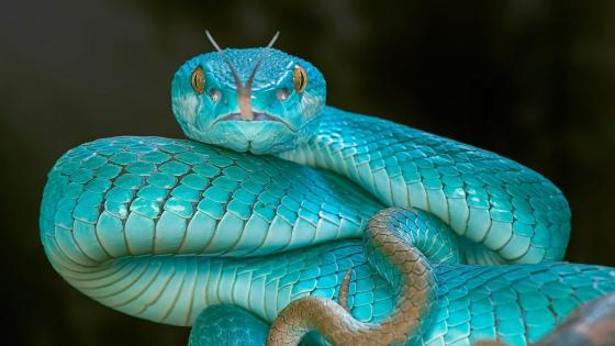 Blue Pit Viper wallpaper