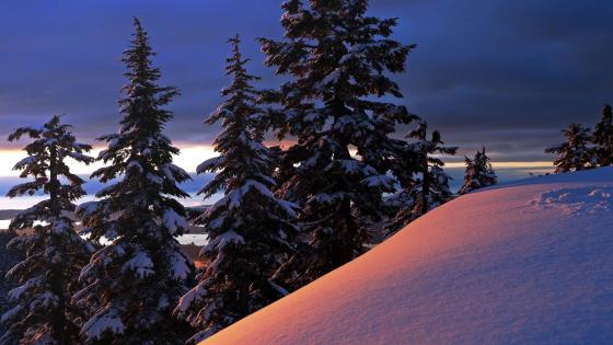 Winter pine forest on the hill-side wallpaper