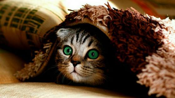 Green-eyed kitten wallpaper