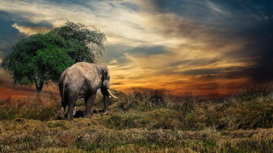 Elephant in the sunset wallpaper