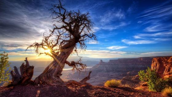 Lonely tree over the canyon wallpaper