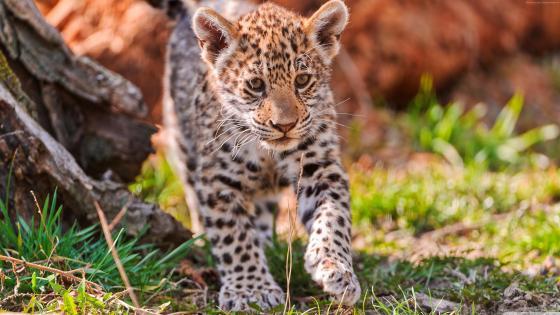 Jaguar cub wallpaper