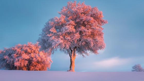 Frozen winter in the pink sunset wallpaper