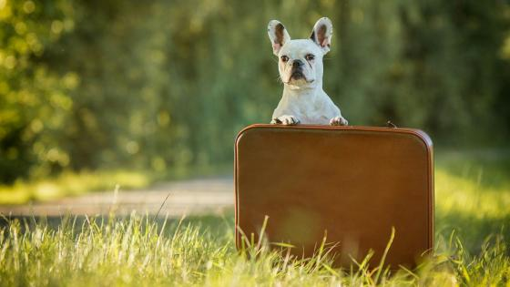 French Bulldog with a suitcase wallpaper