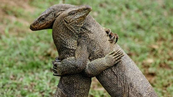Lizard hug wallpaper