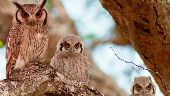 Owl family wallpaper