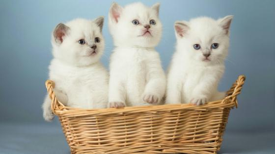 White cats in the basket wallpaper