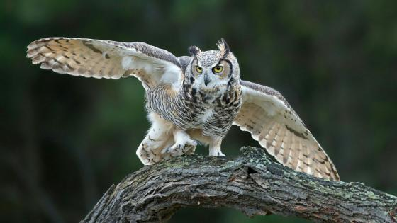 Eurasian eagle-owl wallpaper