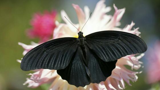 Black butterfly wallpaper