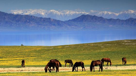 Horses in the Ili Grassland, China wallpaper