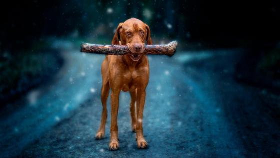 Vizsla dog wallpaper