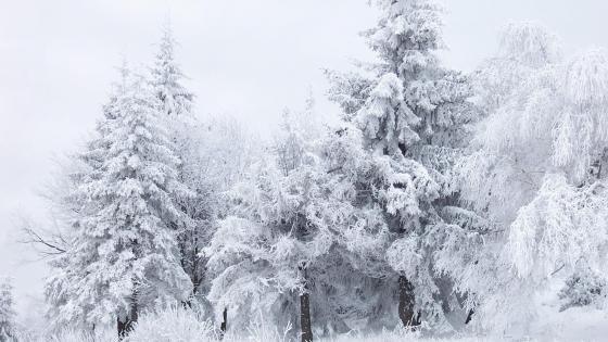 Frozen forest ❄️ wallpaper